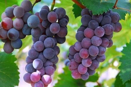 葡萄的六大功效与作用 三个吃葡萄的禁忌