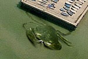 揭开英国海岸神秘巨蟹 图为PS(用户恶搞)