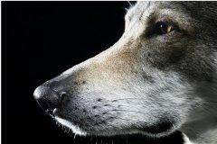 世界上最大的狼灭绝了吗?基奈·山狼的天敌是什么