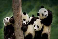 大熊猫为什么是国宝?大熊猫被称为国宝的原因是什么