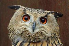 为什么不能嘲笑猫头鹰?为什么猫头鹰是厄运的象征