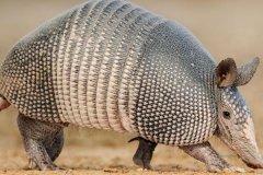 九带犰狳是什么动物?因背甲长九节褶皱而得名(喜欢蜷缩)