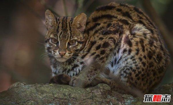 亚洲十大最神秘的猫科动物 亚洲金猫/兔狲榜上有名