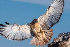 鹦鹉的天敌是什么?伯劳鸟(仅20厘米却被称小屠夫)