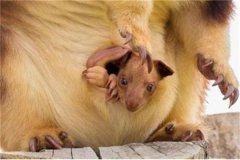 多丽树袋鼠:喜欢生活在树上分布相当广泛