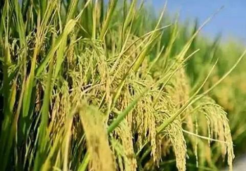 沙漠边为什么要种海水稻