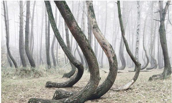 """波兰""""阴森林"""" 400棵树诡异弯向同一边"""