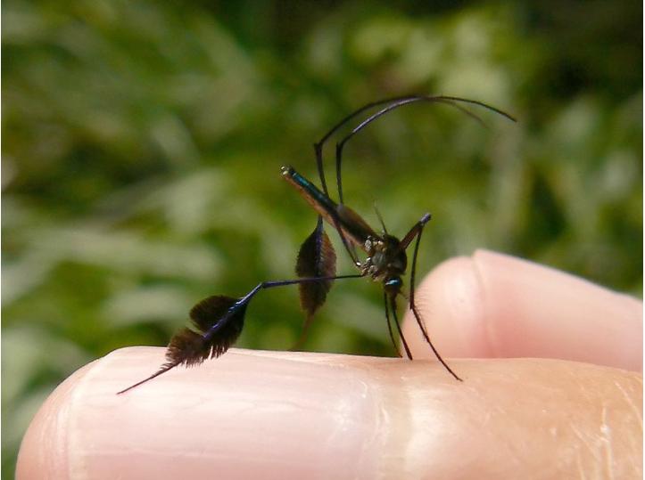 世界上最美丽的蚊子—Sabethes