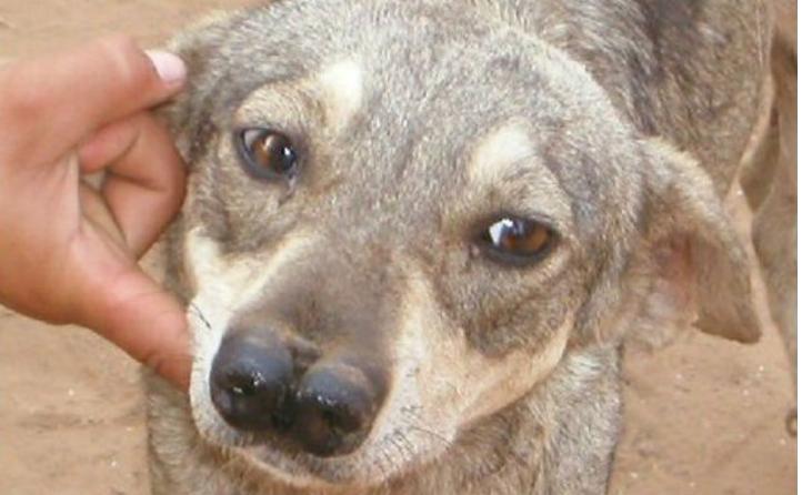 两个鼻子的猎犬嗅觉很强被用来追踪美洲虎