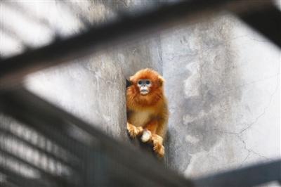 """金丝猴""""奶糖""""驾到 昨天回天津今天就""""上班"""