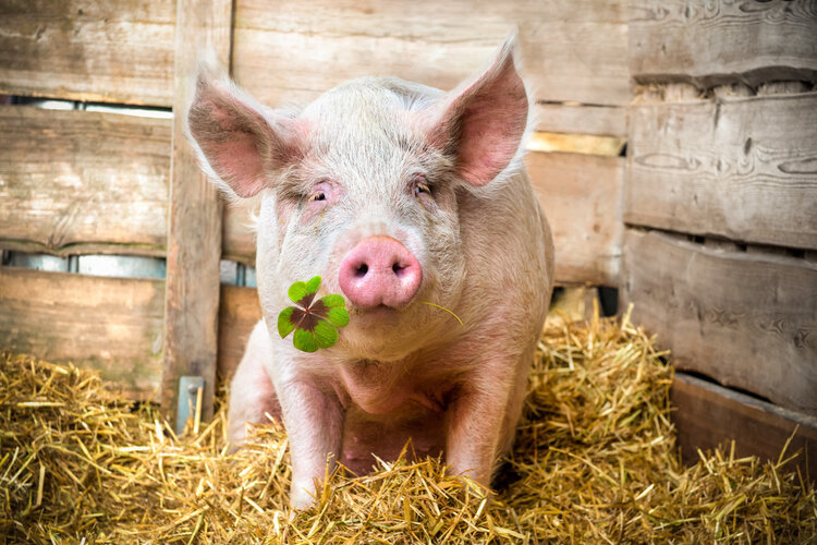 猪油不健康,增加心脑血管病风险?这种说法靠不靠谱?涨知识了